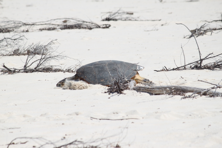 Bird Island - Sea turtle
