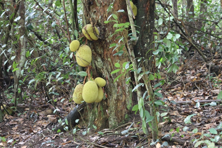 The way to La Gogue - Jackfruit