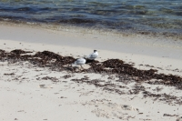 Bird Island - Greater Crested Terns
