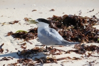 Bird Island - Greater Crested Tern