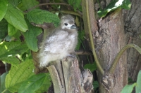 Bird Island - Fairy Tern Chick