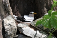 Bird Island - White-tailed Tropicbird