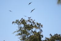 Bird Island - Frigatebirds