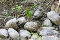 Bird Island - Sprouting Coconut