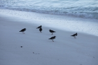 Bird Island - Sanderlings