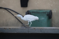 Egret at the Victoria Market