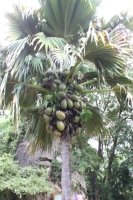 Botanical Garden - Coco-de-mer Palm tree