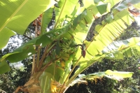 The way to La Gogue - Banana with Gecko