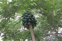 The way to La Gogue - Papaya