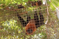 The trail to Anse Major - Caged fruit bat