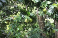The trail to Anse Major - Breadfruit